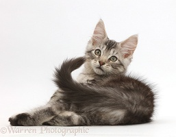 Silver tabby kitten looking over shoulder