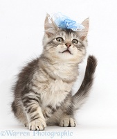 Silver tabby kitten with wool on his head