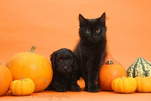 Black kitten and Daxiedoodle puppy with pumpkins