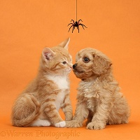 Cavapoo pup and ginger kitten on orange background