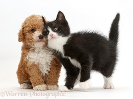 Black-and-white kitten rubbing against goldendoodle puppy