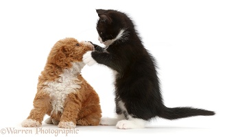 Black-and-white kitten and goldendoodle puppy