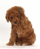 F1b toy goldendoodle puppy holding paw up to ear