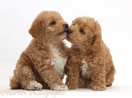 F1b toy goldendoodle puppies kissing