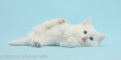 White kitten rolling playfully on blue background