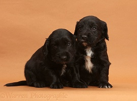 Black Cocker Spaniel puppies on brown background