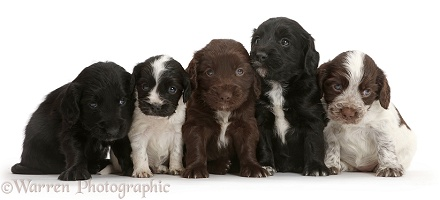 Five Cocker Spaniel puppies sitting in a row