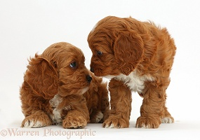 Cavapoo puppies staring into each other's eyes