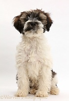 Tibetan Terrier puppy sitting