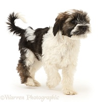 Tibetan Terrier puppy walking