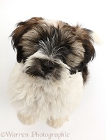 Tibetan Terrier puppy sitting and looking up