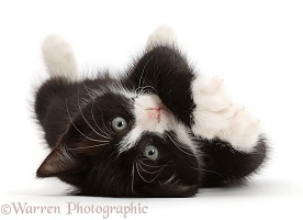 Black-and-white kitten lying on his back and looking cute