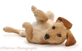 Yellow Labrador puppy lying on back