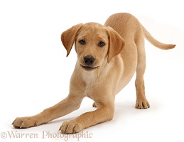 Yellow Labrador puppy in play-bow