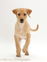Yellow Labrador puppy, 11 weeks old, running