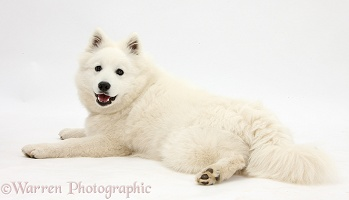 White Japanese Spitz dog