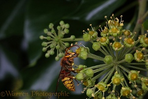 Hornet drone on Ivy flowers