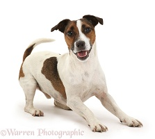 Playful Jack Russell Terrier dog
