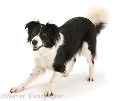 Playful black-and-white Border Collie