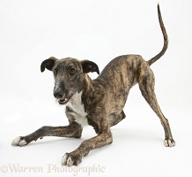Brindle Deerhound Lurcher in play-bow