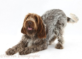 Brown Roan Italian Spinone dog in play-bow
