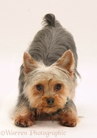 Yorkie in play-bow