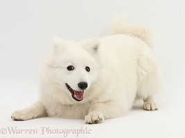 White Japanese Spitz dog in play-bow