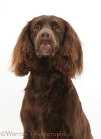Chocolate working Cocker Spaniel