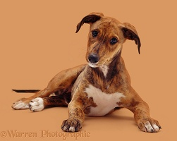 Brindle Lurcher pup