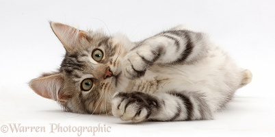 Silver tabby kitten lying on his side