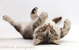 Silver tabby kitten lying on his back
