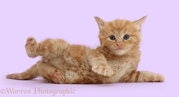 Ginger kitten lying on its side