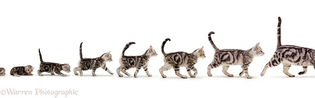 Silver tabby cat growing up sequence stages
