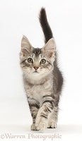 Silver tabby kitten, walking