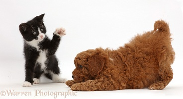 Black-and-white kitten with Cavapoo puppy