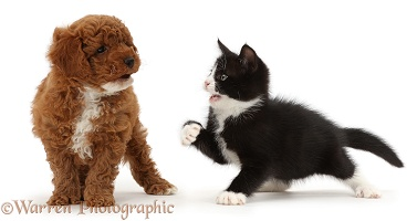 Black-and-white kitten beckoning goldendoodle puppy