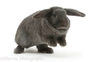 Blue grey lop rabbit jumping up on the spot