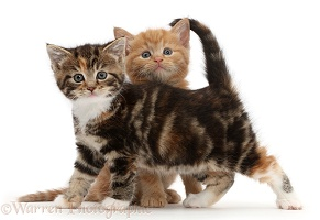 Ginger and tabby tortoiseshell kittens