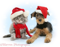 Maine Coon kitten and Airedale puppy in Santa hats