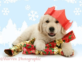 Golden Retriever pup with Christmas crackers