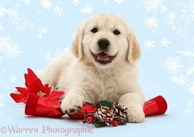 Smiley Golden Retriever pup with Christmas cracker