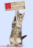 Silver tabby kitten with placard