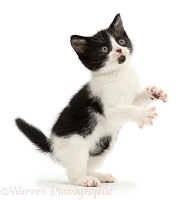 Black-and-white kitten standing and grasping