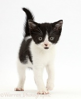 Black-and-white kitten walking