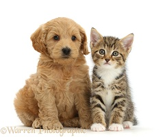 Cockapoo puppy and tabby kitten