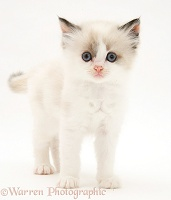 Birman-cross kitten standing