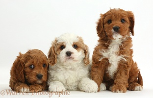 Three Cavapoo puppies, 6 weeks old, in a row