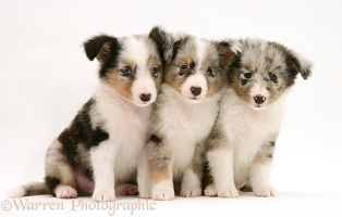 Three Sheltie puppies