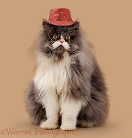 Persian male cat wearing a cowboy hat