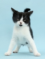 Black-and-white kitten looking fierce and imposing